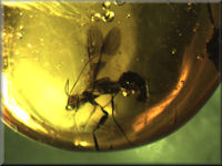 Mosquito in amber