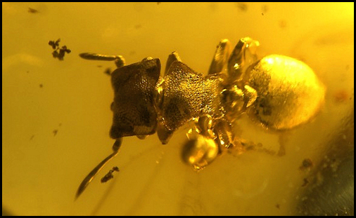 Square Headed Ant Amber
