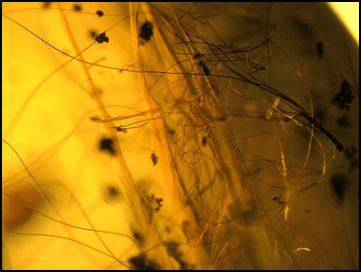 Mammalian Hairs in Amber