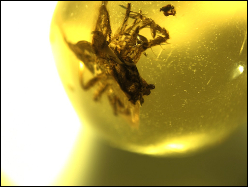 Amber insect