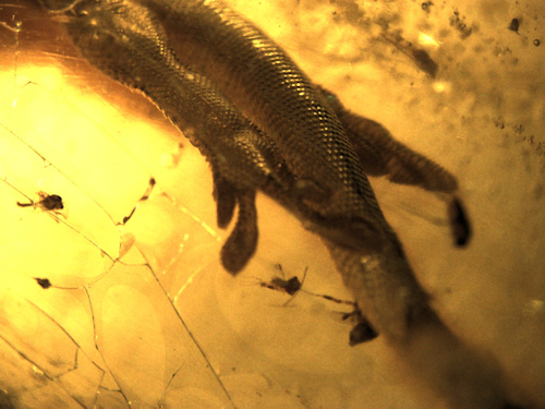 Lizard in Madagascar Copal