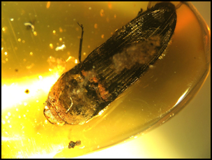 Dominican Republic Amber with Fossils